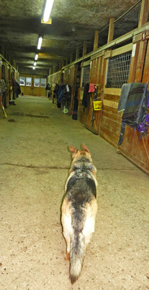 farm dog doing stable rounds
