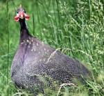 Helmeted_guinea_fowl-steve-2007-wikicommons