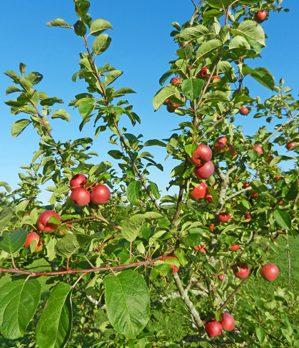 apple-tree-photo-d-stewart