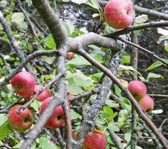 apples-photo-d-stewart