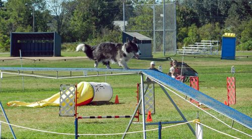 Agility competition PLP photo d stewart