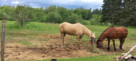 Salisbury horses Reiner and Misty, photo Joseph Tunney CBC