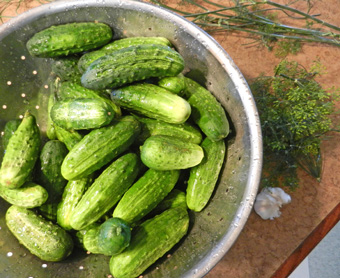 cucumbers-garlic-dill-photo-d-stewart