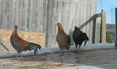 hens-behind-the-wire