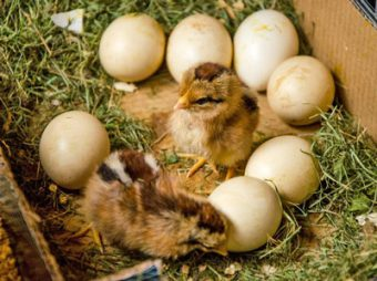 newly hatched chicks photo-j-stewart