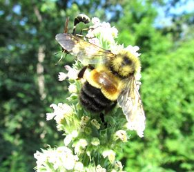 B-affinis-wildlifepreservation.ca_rusty-patched-bumble-bee-photo-christy-stewart