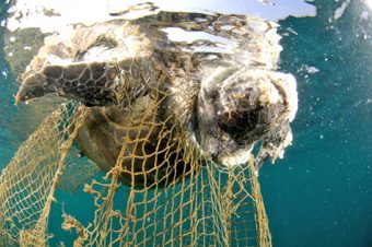 Corpse_of_sea_turtle_drowned_in_fishing_net-salvatore-barbera-wikicommons