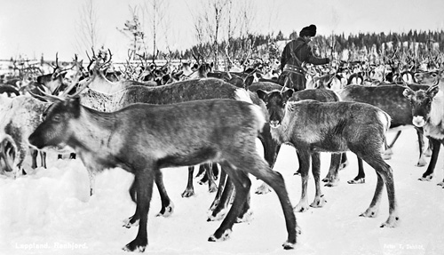 Reindeer_Jukkasjärvi_Lappland_Sweden_1930-1949 - newfoundland mikmaq