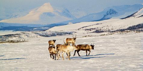 Reindeers_above_Kilpisjärvi_panoramio-2010-Tadeas-Gregor-wikicommons