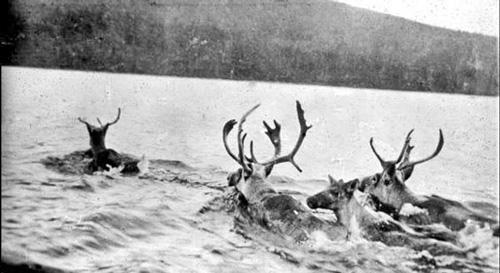 Reindeer swimming - Grenfell lantern slides, Maritime History Archive