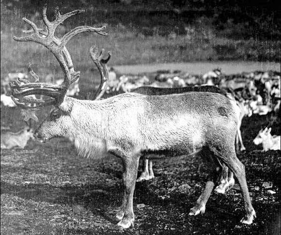 Newfoundland Reindeer c-1907-IGA-Lantern-Slides-MHA-MUN-digital-coll