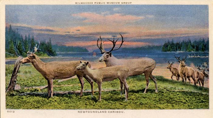 Newfoundland_Caribou_Milwaukee_Public_Museum